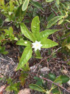 starflower plant in flower