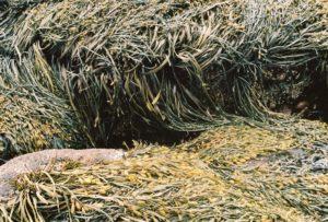Close-up of rockweed draped over rocks