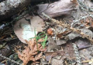 Inch-tall spruce seedling surrounded by dead leaves and cedar needles