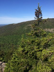 red spruce in foreground with forested hillside in background